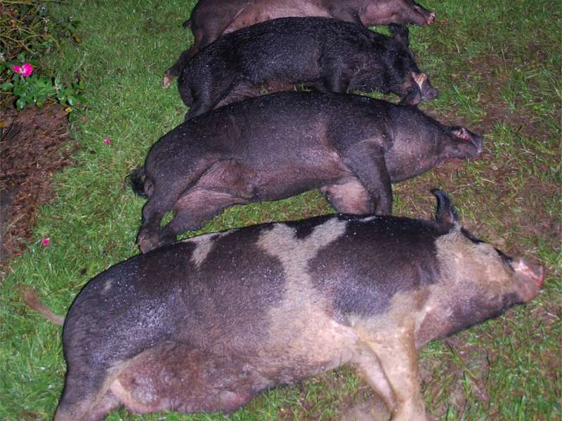 South Carolina Lowcountry Hogs