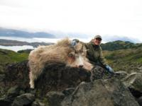 Alaskan Mountain Goat
