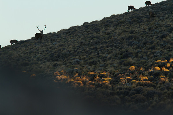 Patagonia Red Stag | Junin Argentina